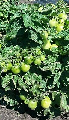 World/'s Smallest Tomato Seeds Dwarf Red Currant    bin312