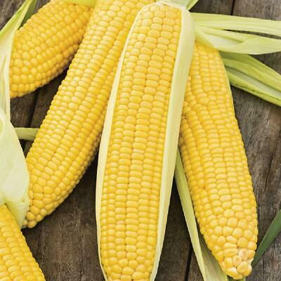 SWEETCORN Seeds 45 /'EARLIBIRD/' F1 And 25 Rainbow Sweetcorn FAST FREE  DELIVERY