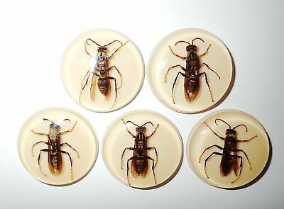 Insect Cabochon Yellow Paper Wasp 38.5 mm Round inner 36 mm Amber white 5 Pcs