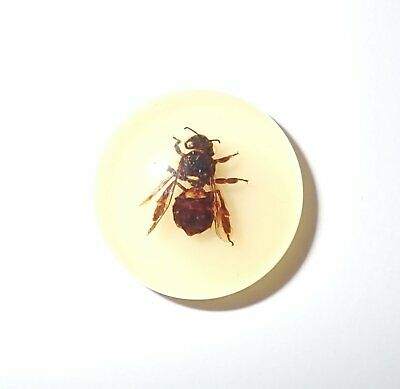 Insect Cabochon Honey Bee Round 25 mm on Amber White Bottom 1 pc Lot