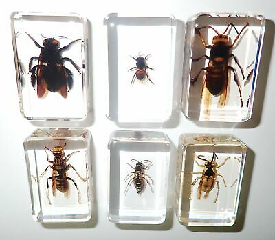 3 Wasp 2 Bee 1 Hornet Set in 6 Clear small Block Education Specimen