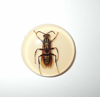 Insect Cabochon Yellow Paper Wasp 38.5 mm Round inner 36 mm Amber white 1 Pc