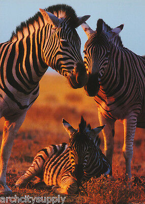 Poster : Animals ; Zebra Family With Baby -  Free Shipping !!   #pp0757 Rw2 A