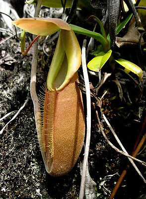 Nepenthes Bongso - Pianta Carnivora, 5 Semi