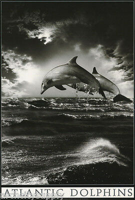 Poster - Animal - Atlantic  Dolphins - Free Shipping ! #0308743  Lc19 C