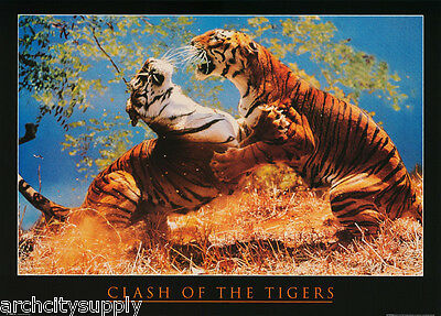 Poster :animal: Clash Of The Tigers   -Free Shipping !   #ph0141     Lw22 D