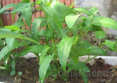 "100 Seeds "" Kangkong, River Spinach, Water Morning Glory, Water Spinach Ong Choy"