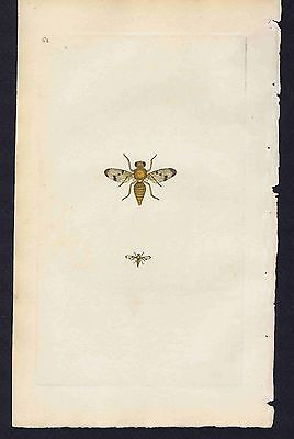 DIPTERA Musca Onopordini FLY 1800 Donovan Hand Colored Plate #62