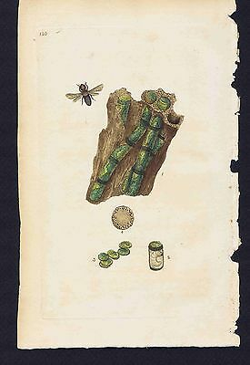 Apis centuncularis - Wasp -Larva -  1802 Donovan Hand Colored Plate #120