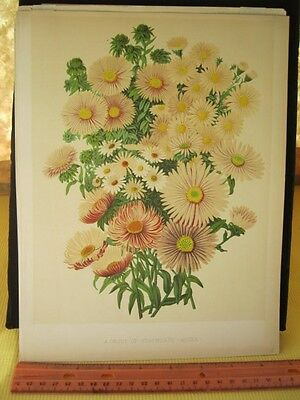 Vintage Print,GROUP OF STARWORTS,Flower,Chromo,The Garden,1880-1900