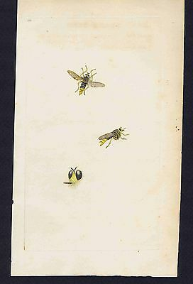 HORNET FLY Asilus Crabroniformis - 1796 Donovan Hand Colored Plate #180