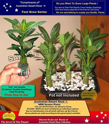 AUSTRALIAN  DESERT  ROSE: BONSAI  5x Seedling Plants