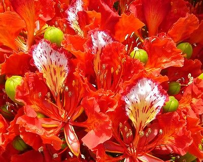 Flammenbaum • 15 Samen/seeds • Delonix regia • Flammboyant • Bonsai • Flame Tree