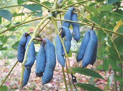 Decaisnea Fargesii Seeds - Blue Sausage Tree
