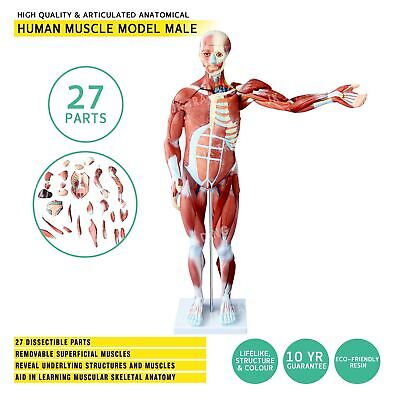 Life Size Human Skeleton Model with Nerve Branches Human Anatomy Model