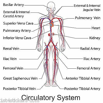 HUMAN BODY / CIRCULATORY VASCULAR SYSTEM detailed poster print great quality  3