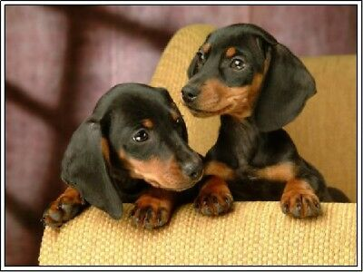 Packof4 Dachshund Puppy Dog Puppies Dogs Stationery Greeting Notecards/Envelopes