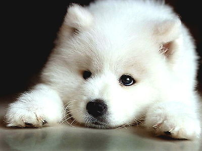 Packof4 Samoyed Puppy Dog Puppies Dogs Stationery Greeting Notecards / Envelopes