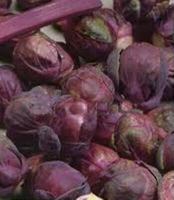 Seeds Cabbage Brussels Sprout Rosella Russian Heirloom Vegetable Seed
