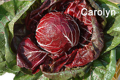50 Seeds Radicchio Palla Rossa, Italian Chicory, Backyard Vegetable Herb Garden