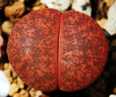 living stone rock pleable stone cactus cacti seed 30 SEEDS Lithops verruculosa
