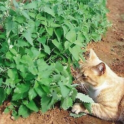 Catmint Catnip Catswort Seeds Nepeta catari Organically Grown Russian Herb