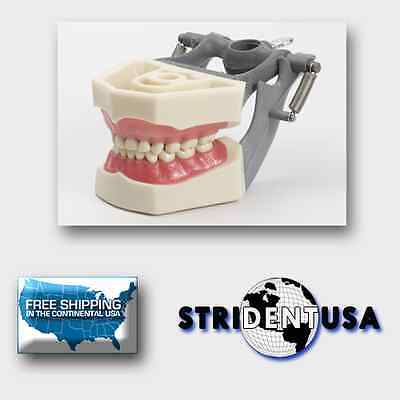 Dental Typodont Pediatric Model White Teeth Model With Removable Ivorine Teeth