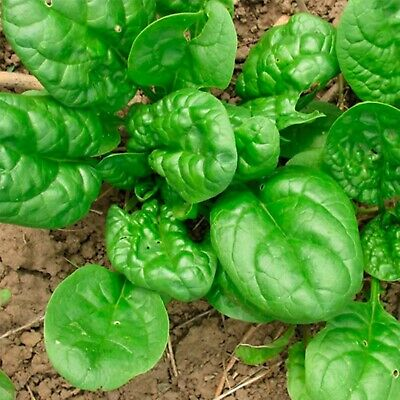 Vegetable Seeds Leaf Spinach Matador Organically Grown Heirloom NON-GMO