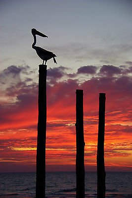 Australian pelican sunset sunrise  art landscape print modern photo 800mm