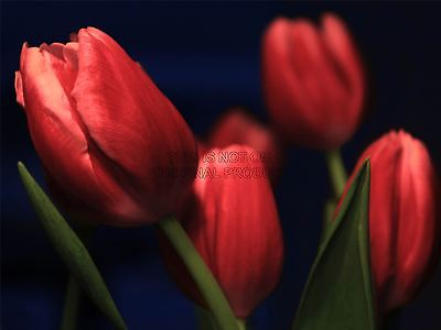 TULIPS RED FLOWERS BLOOM PHOTO FINE ART PRINT POSTER HOME DECOR PICTURE BMP848B