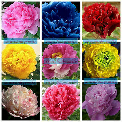 35 Varieties Rare China's Peony Seeds Paeonia Suffruticosa Flower Tree Plant F/S