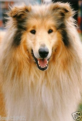 Rough Collie Dog Jumbo Fridge Magnet