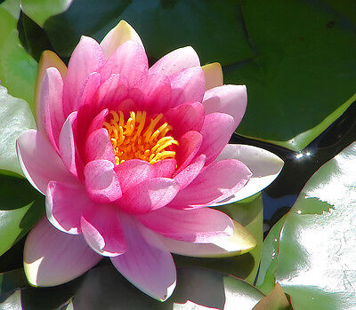 Nymphaea Capensis Light Pink - Ninfea Rosa Chiaro, 10 Semi