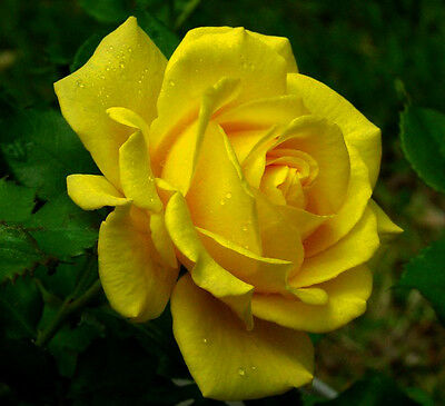Rosa Gialla - Yellow Rose, 10 Semi Scelti / 10 Selected Seeds