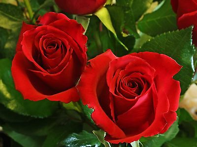 Rosa Rossa - Red Rose, 10 Semi Scelti / 10 Selected Seeds
