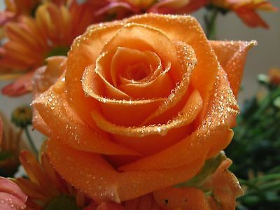 Rosa Arancione - Orange Rose, 10 Semi Scelti / 10 Selected Seeds