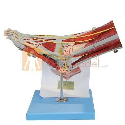Brand New Medical Anatomy Muscles of Foot with Main Vessels and Nerves Model