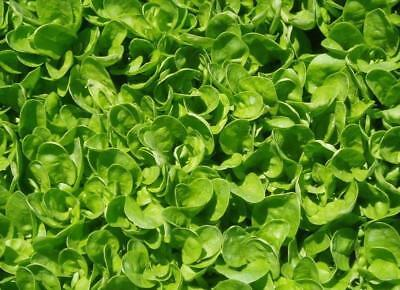 English Spinach (spinacia oleracea) 20 Reliable Viable Seeds