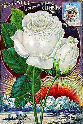Robert Peary Rose Vintage Flowers Seed Packet Catalogue Advertisement Poster