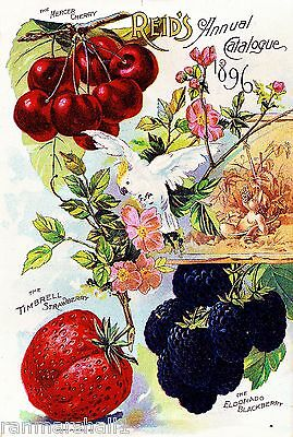 1896 Mercer Cherry Vintage Fruits Seed Packet Catalogue Advertisement Poster