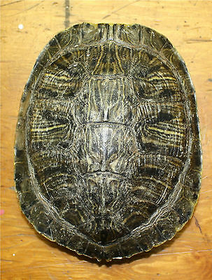 "RED EAR TURTLE SHELL 4""-6"""