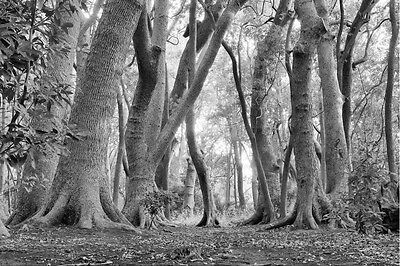 South African Forest-Black & White 12' x 8' (3,66m x 2,44m)-Mural Unique
