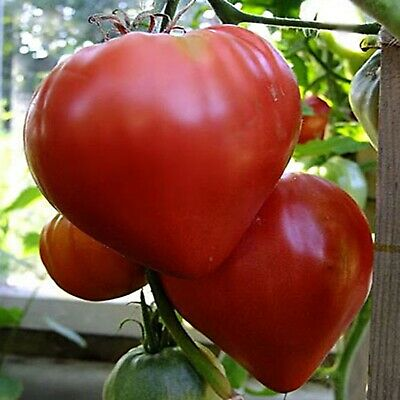 Seeds Beefsteak Tomato Volove Sertse Chervonyy - Bulls Heart Red Heirloom