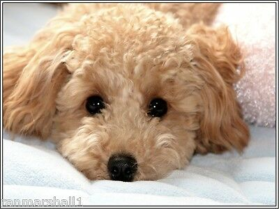 Set of 4 Puppy Dog Apricot Poodle Stationery Art Greeting Notecards / Envelopes