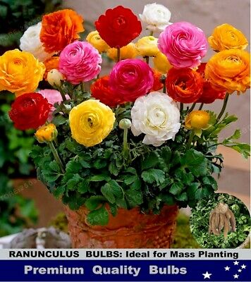 FLOWER BULBS - GLADIOLI - RAINBOW  Mix -25 BULBS