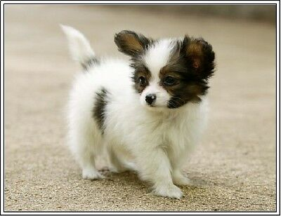 Setof4 Papillon Puppy Dog Puppies Dogs Stationery Greeting Notecards /Envelopes