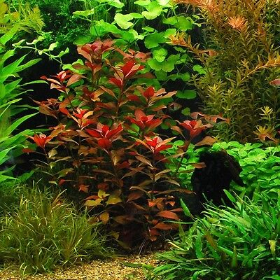 "Ludwigia Repens ""Rubin"" - Live Aquarium Plants Bunch Fish Tanks BUY2GET1FREE*"