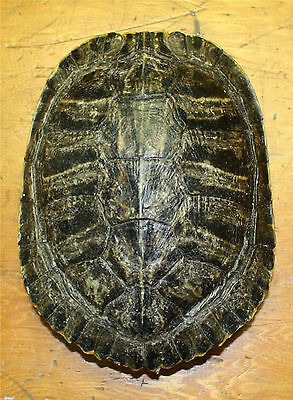 "RED EAR TURTLE SHELL 8""+"