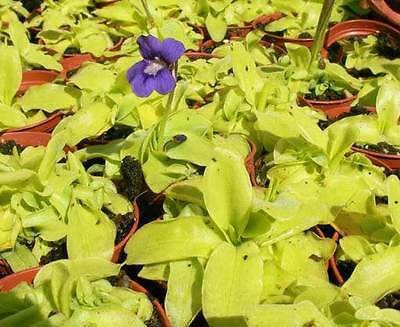 Pinguicula Grandiflora Seeds - Carnivorous Butterwort Plant
