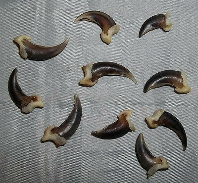 """Set of 10 Assorted Real Coyote Claws - Taxidermy,Crafts,Rendezvous,Powwow, """"NEW"""""""